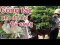 MUA 500K CÂY DUỐI ĐẸP CHỈNH SỬA SONG Trung bonsai cộng 1'5 triệu không bán để mang đi đại hội