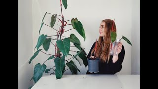 How to Propagate Blushing Philodendron, House plant propagation.