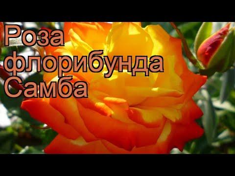 Роза флорибунда Самба (rose samba samba) 🌿 роза Самба обзор: как сажать саженцы розы Самба