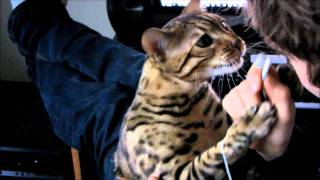 Bengal Cat Rumble Attacking My Ear Buds Linus Cat Tips