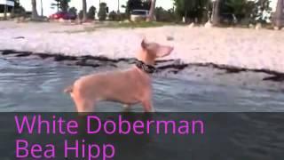 Mein bearbeitetes Video White Doberman