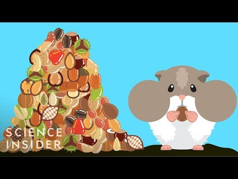Maddox - How Hamsters Can Stuff So Much Food In Their Cheeks?