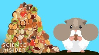How Hamsters Can Stuff So Much Food In Their Cheeks