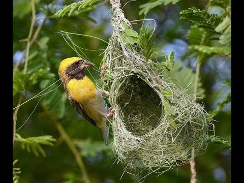 Close Up Of Baya Weaver Bird Building Intricate Elaborate Nest