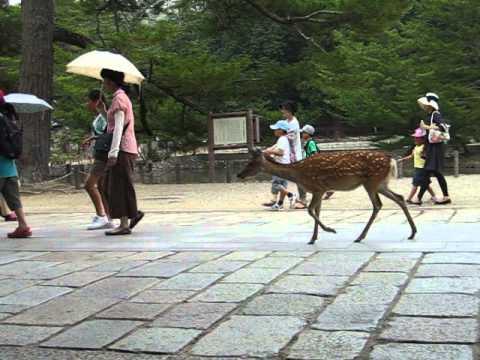 Zelfs herten gaan naar de Zentempel in Japan!