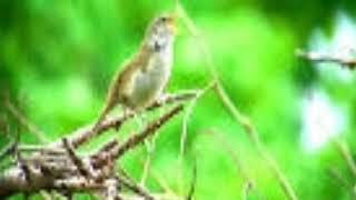 Download Mp3 Guru Vocal Murai Batu. Cucak Ijo Dan Kacer..... Suara Burung Sedge Warbler