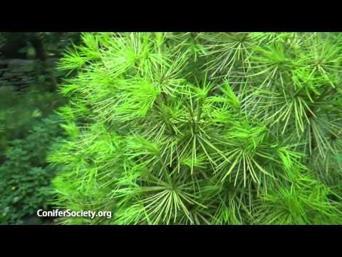 Japanese Umbrella Pine - Sciadopitys Verticillata 'Golden Parasol' American Conifer Society