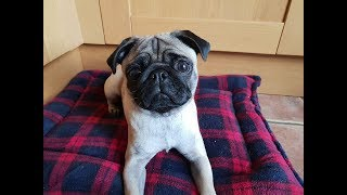 Rose - 1 Year Old Pug - 2 Weeks Residential Dog Training