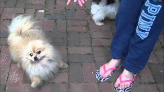 Spunky The Pom And Dolly The Shih Tzu!