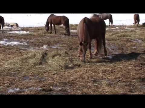 Охота на волка в Казахстане