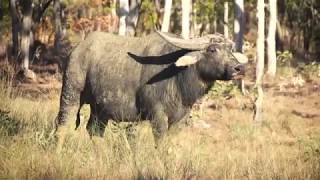 Buffalos Down Under - Australian Outback Buffalo and Dingo Hunting