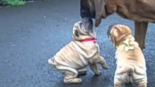 Tuck 'n Roll Acres | Shar Pei Breeder Usa | The Wrinkle Dog