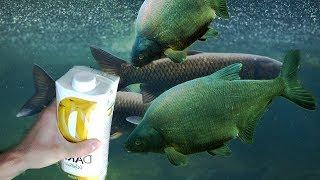Прикормка из БАНАНА Раз два и РЫБЫ ТЬМА Реакция рыбы на банан подводная съемка