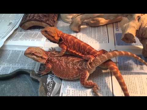 Bearded Dragon Breeding Red Project #1