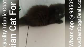 Black Persian Cat Kitten For Sale 9350926445 Triple Coat