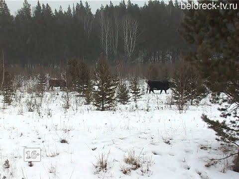 Волки в открытую подходят к деревням