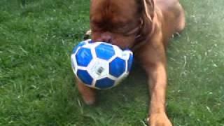 Dogue De Bordeaux.shrimpmyster Zeus Vs Football !!