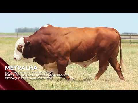 Touro Metralha - Braford indicado para IATF - RENASCER BIOTECNOLOGIA VIDEO