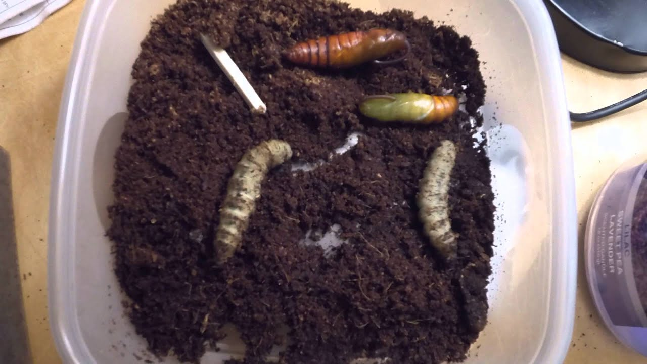 Tomato Hornworm Life Cycle tomato hornworm pupating in timelapse ...