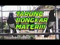Kacer Gacor Kacer Bongkar Isian Kacer Tarung Choe Than  Mp3 - Mp4 Download