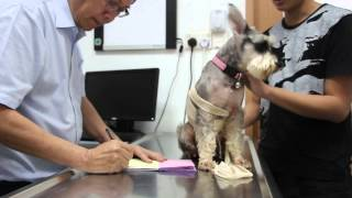 A Miniature Schnauzer Has Blood In The Urine And Itchy Armpits - Part 1/2