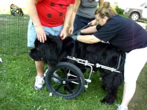A Front Wheel Ed S Wheels Dog Wheelchair For Mykroft