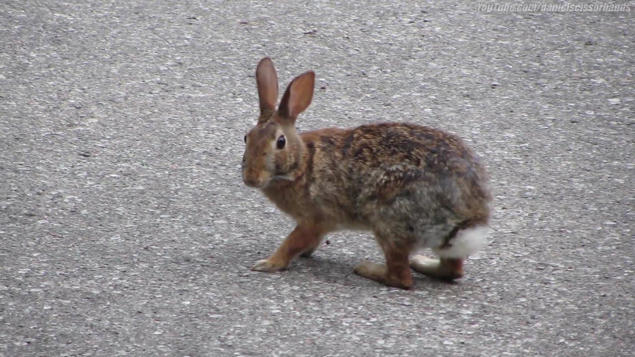 Wild Backyard Rabbits : Wild rabbit on Rosedale Heights Drive, in Toronto June 26, 15