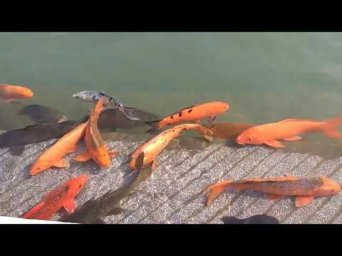 Beautiful Fishes in Golden Temple of Amritsar Panjab
