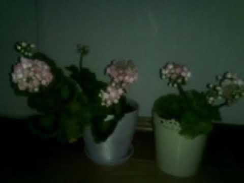 Розебудные пеларгонии Fisher's Appleblossom и Denise