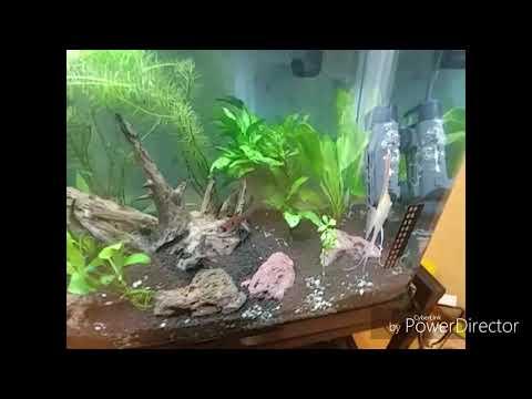 Angel Fish Breeding In A Community Tank ?