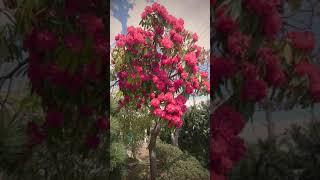 家の庭に咲いてる珍しい花が満開になりました( ^-^)ノ∠※。.:*:・'°