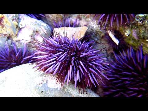 purple sea urchin - 1080×720