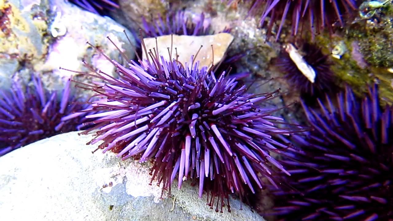 Purple Sea Urchin ( Strongylocentrotus purpuratus ...