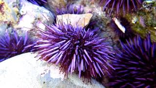 Purple Sea Urchin ( Strongylocentrotus purpuratus ) Walking in Tide Pool