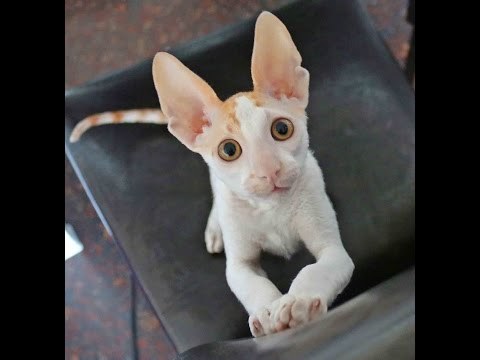 Cat Cornish Rex Enrico Charming