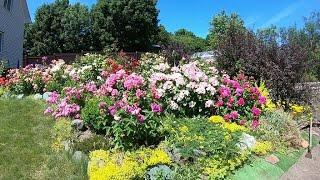 цветение роз 2020