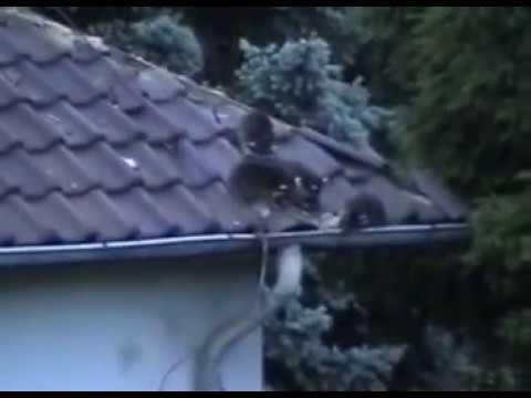 Waschbären in Kassel