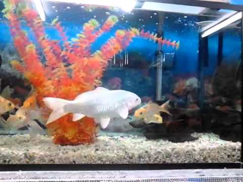 peces carpa koi youtube