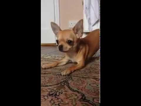 Audrey the Chihuahua confronts her NEMESIS