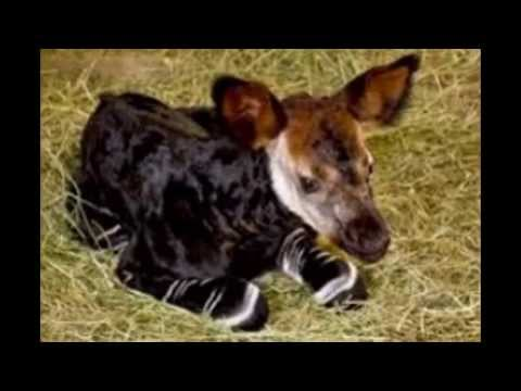 Okapi - Zebra mixed with Giraffe mixed With Deer - YouTube