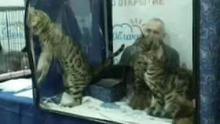 Бенгалы на выставке кошек Кемерово