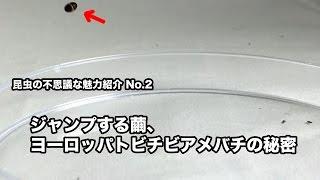 昆虫の不思議な魅力紹介No.2〜ジャンプする繭、ヨーロッパトビチビアメバチの秘密〜