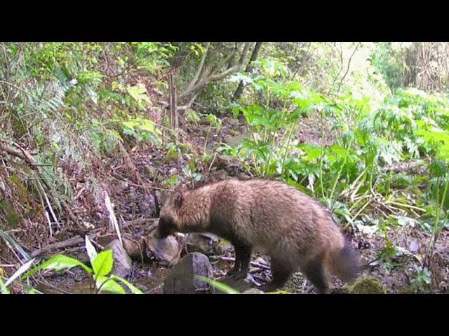 Un Perro mapache salvaje