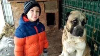 Алабай и дети. Дети разбудили алабая  и вытащили его из домика. Kids woken up big dog.