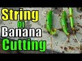 How to Grow String of Bananas Plant From Cutting | Result of 45 Days (Urdu/hindi)