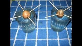 Como germinar la semilla de aguacate o palta y trasplantar (paso a paso)