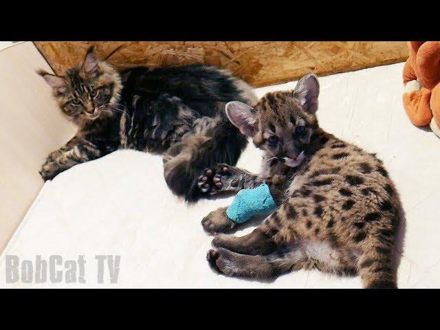ПУМЁНОК И КОШКА породы мейн-кун МИССА / Продолжаем лечить котёнка
