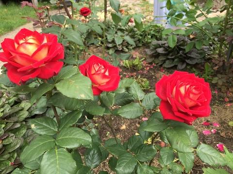 Розы чайно гибридные Бабяковский плодопитомник