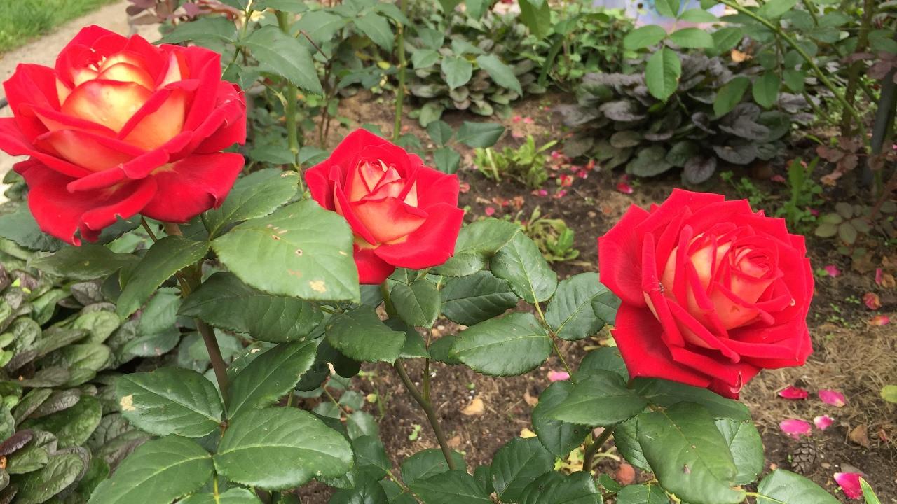 Штамбовые розы - YouTube