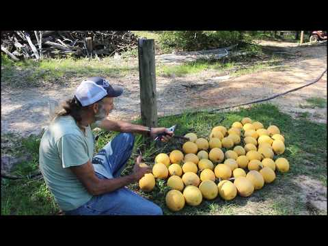 5 SEEDS | 50+ Spaghetti SQUASH | How to HARVEST Spaghetti Squash